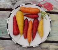 carrots, Whitefield, Maine